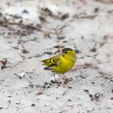 Male of Eurasian Siskin, Carduelis spinus, on old dirty snow close-up portrait, selective focus, shallow DOF.  Stock Photography