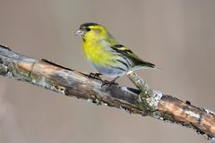 Male of eurasian siskin sits on an old branch: very close, can s. Male of eurasian siskin Spinus spinus sits on an old branch: very close, can see every feather Stock Photos