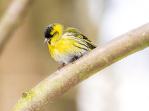 Male eurasian siskin on a tree branch. Male black-headed goldfinch (Carduelis spinus) sitting on the branch of a tree Royalty Free Stock Photos