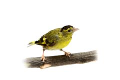 The male of Eurasian Siskin on white Stock Photos