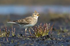 Male Eurasian skylark fervently sings his loud song as he stands on the dirty and muddy soil stock image