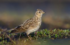 Male Eurasian skylark stands on the ground with short grass and sand in early spring shotted from short distance royalty free stock images