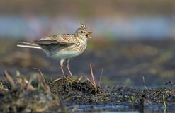 Male Eurasian skylark sings his fervent song as he stands on the sand mount in open area stock photography