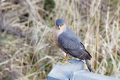 Male Eurasian Sparrowhawk (Accipiter nisus) Stock Photos