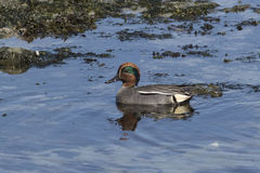Male EURASIAN TEAL sitting in the water of a pond Stock Photo