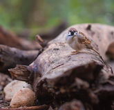 Male Eurasian Tree Sparrow on log. A male Eurasian Tree Sparrow Passer montanus resting on a fallen log on the ground Royalty Free Stock Photos