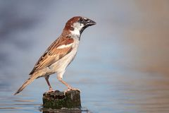 Male Eurasian tree sparrow Passer montanus stands on a hill in the water.  Royalty Free Stock Photo