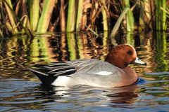 Male Eurasian wigeon, also known as Widgeon Mareca penelope swimming in a canal in The Netherlands royalty free stock images