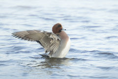Male eurasian wigeon Anas penelope Royalty Free Stock Photos