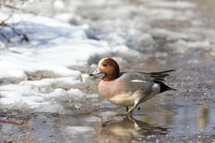 Eurasian wigeon duck. A male Eurasian wigeon duck at BC Canada Royalty Free Stock Photos