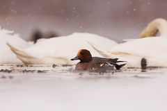 A male Eurasian wigeon on icy river. In Lithuania Stock Images