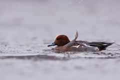A male Eurasian wigeon on icy river Royalty Free Stock Image