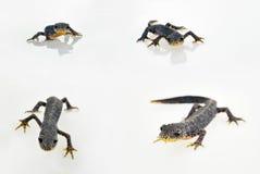 Male european alpine newt Stock Photo