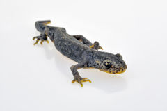 Male european alpine newt Stock Photo