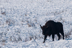 Male of European Bison (Bison bonasus) in Winter Royalty Free Stock Photography