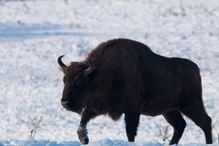 Male of European Bison (Bison bonasus) in Winter Stock Image