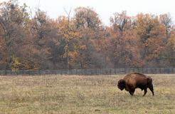 Male european bison walk in a protected enclosure. Male european bison (Aurochs) walk in a very large protected enclosure Royalty Free Stock Image
