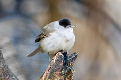 Male European Blackcap on Textured Tree Stump Stock Image