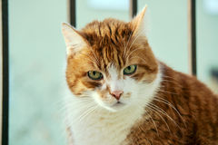 Male European cat Stock Photography
