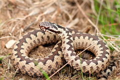 Male european common adder Stock Photography