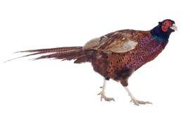 Male European Common Pheasant Royalty Free Stock Photo
