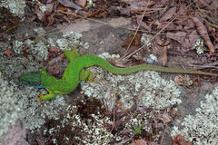 Male of european green lizard (Lacerta viridis) Royalty Free Stock Image