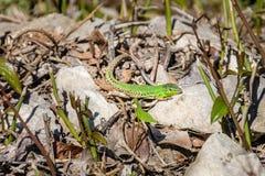 Male european green lizard lacerta viridis on a rock Royalty Free Stock Images