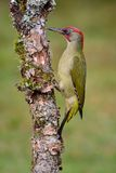 Male european green woodpecker on a branch Royalty Free Stock Image