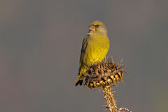 Male European Greenfinch Stock Photography