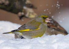 Male European Greenfinch posing in snow near a feeder as he feeds on sunflower seeds royalty free stock image