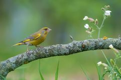 Male European Greenfinch stands on lichen branch with little meadow flowers around royalty free stock photos