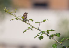Male European Stonechat Royalty Free Stock Images