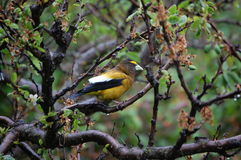 A male Evening Grosbeak perched on a plum tree on a rainy day Royalty Free Stock Images