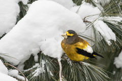 Male evening grosbeak perching on a pine tree branch in winter Royalty Free Stock Images