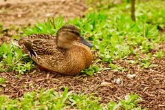 A male falcated Teal Duck. Taking a break from the lake and resting in a garden stock photography