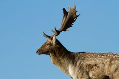 Male fallow deer Stock Photography