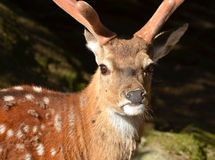 Male Fallow Deer Royalty Free Stock Photo