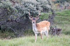 Male Fallow. Male Fallow deer with antlers in grass landscape Stock Images