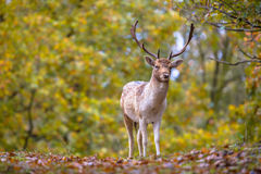 Male Fallow deer in autumn colors. Male fallow deer (Dama dama) with antlers in autumnal forest with yellow leaves royalty free stock images