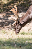 Male Fallow deer. Close up head of male dark brown fallow deer with antlers Royalty Free Stock Image