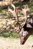 Male fallow deer. Close up head of male dark brown fallow deer with antlers Stock Photography