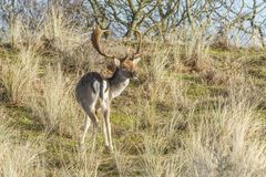 Wild male fallow deer grazing in Dutch dune area on a steep dune slope. Male fallow deer, Dama dama, in Amsterdamse Waterleidingduinen  with raised head looking Royalty Free Stock Images