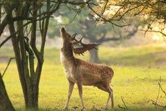 Male fallow deer, Dama Dama, foraging during sunsrise. Royalty Free Stock Image