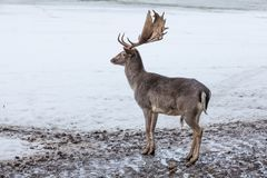 Male fallow deer Dama dama in a winter landscape stock photo