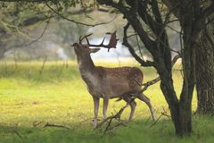 Male fallow deer, Dama Dama, foraging during sunsrise.
