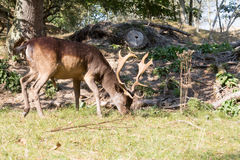 Male Fallow deer. Dark brown fallow deer with antlers walking on grass Royalty Free Stock Photography