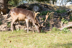 Male Fallow deer. Dark brown fallow deer with antlers walking on grass Stock Photo