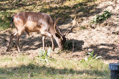 Male Fallow deer. Dark brown fallow deer with antlers walking on grass Royalty Free Stock Photo