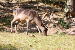 Male Fallow deer. Male dark brown fallow deer eating grass Stock Image