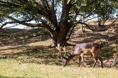 Male fallow deer. Male dark brown fallow deer eating grass Stock Images